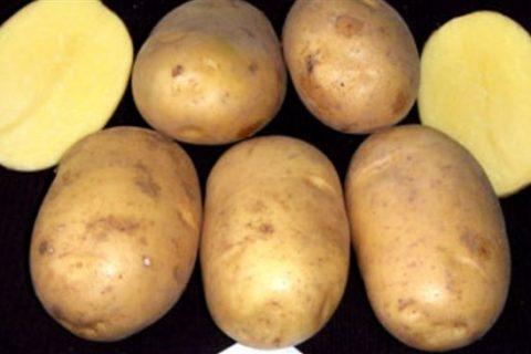 Описание сорта картофеля «Очарование»