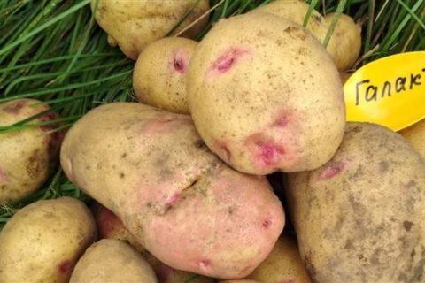 Сорт картофеля Олимп. Описание, фото, отзывы
