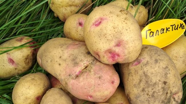 Олимп - сорт растения Картофель