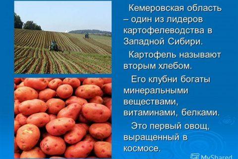 Картофель сорта «предгорный»