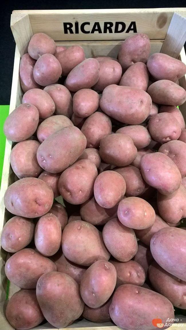 Сорт картофеля «Нида» – описание и фото