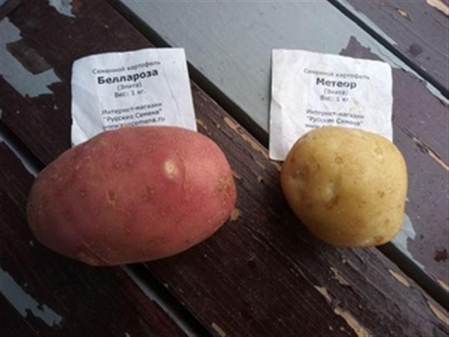 Сорт картофеля «Огниво» – описание и фото