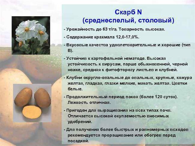 Один из самых выдающихся столовых сортов семенной картошки — Регги: описание и характеристика