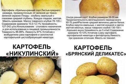 ГлавАгроном — Картофель РУМБА
