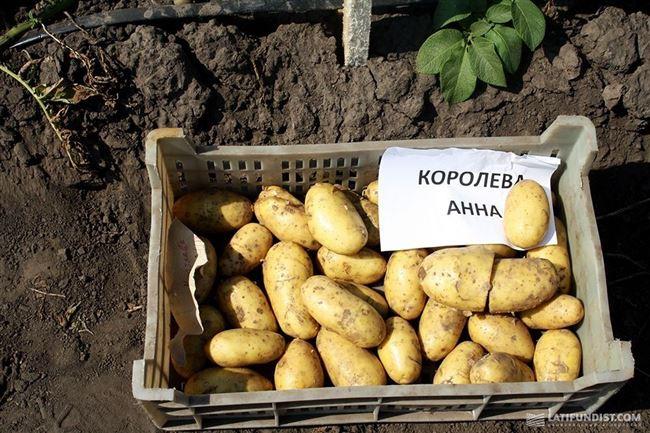 """Картофель Сорт """"Королева Анна"""" - отзыв"""