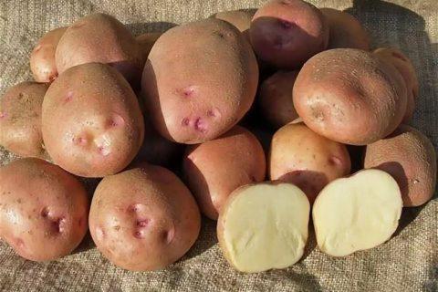 Сорт картофеля Ручеек. Описание, фото, отзывы
