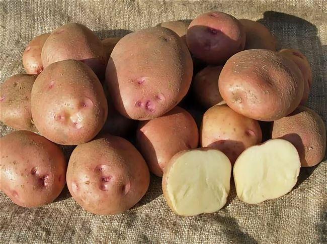 Ручеек - сорт растения Картофель