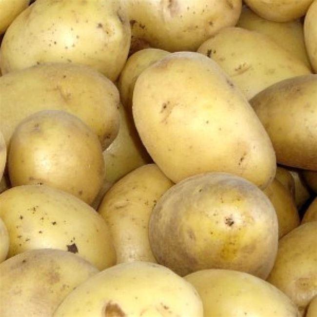 Сорт картофеля Сатурна. Описание, фото, отзывы