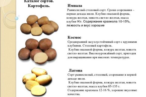 Картофель Солнышко | Сорта картофеля