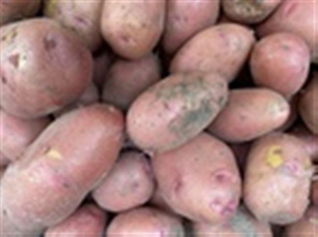 Новые сорта картофеля: обзор новинок 2020 года
