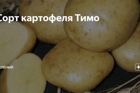 Сорт картофеля Тимо Ханккиян: описание, посадка и уход Русский фермер