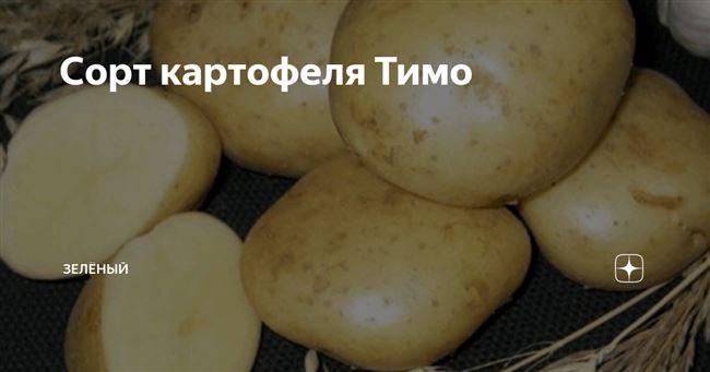 Характеристика и описание картофеля сорта Тимо