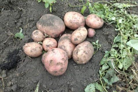 Картофель сорта «факел»