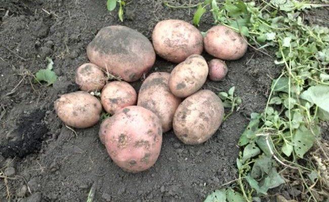 Описание сорта картофеля Факел