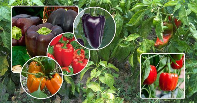 Мой толстостенный перец: 5 сортов, которые советую посадить