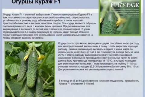 Хрум-Хрум — сорт растения Огурец