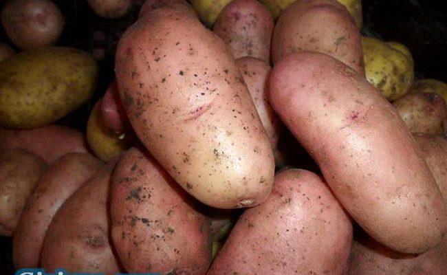 картофель пензенская скороспелка фото
