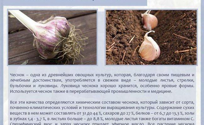 Выбираем сорта чеснока для посадки весной