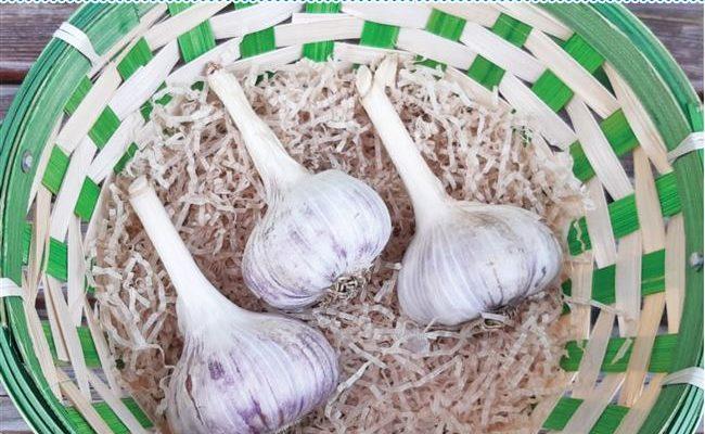 Озимый сорт чеснока Скиф – неприхотливый и урожайный