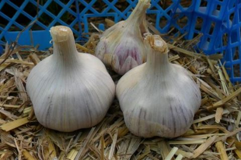 Сорта чеснока: виды с названиями и описанием, фото