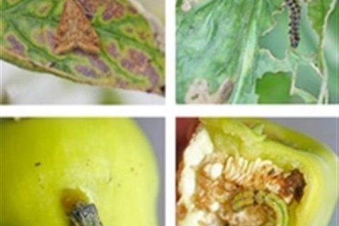 Вредители перца: разновидности и методы борьбы + фото