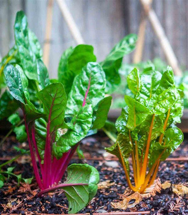 Листовая свекла мангольд – выращивание и уход, польза и вред, рецепты приготовления