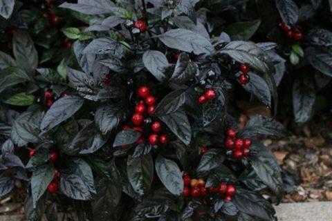 перец красная жемчужина f 1 группа гибрид созревание среднеранний форма конусовидная мякоть мясистая ароматная предназначение для употребления в свежем виде и консервирования масса 110 140 г главное преимущество высокая урожайность посев март