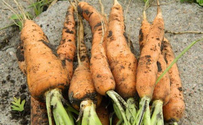 Какие болезни бывают у морковки и как с ними бороться
