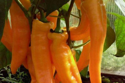 Перец Рамиро: характеристика и описание сорта, урожайность, отзывы, фото