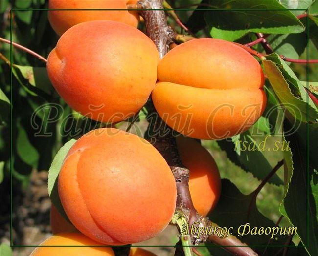 Описание сорта абрикосов Алеша и характеристики устойчивости к заболеваниям