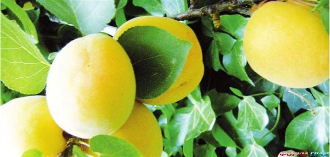 Характеристика и особенности выращивания абрикоса сорта Ананасный