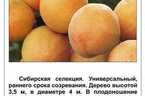 Сорт абрикоса Водолей, описание, характеристика и отзывы