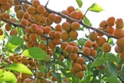 Гритиказ — сорт растения Абрикос
