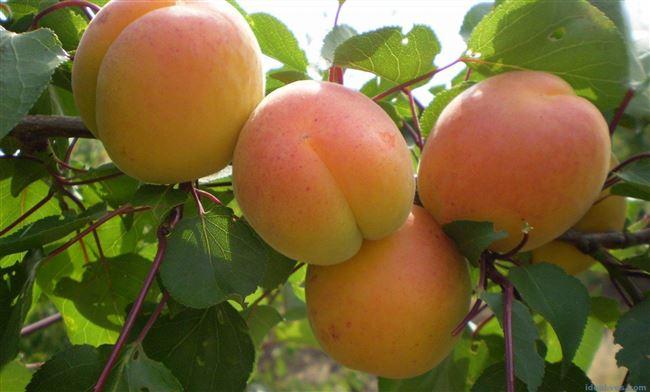 Характеристики сорта абрикосов Крымский Амур и описание преимуществ и недостатков дерева