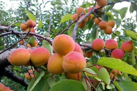 Кунач — сорт растения Абрикос