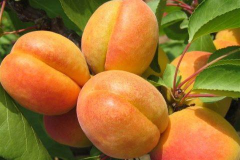 Сорт абрикоса: Орлик Ставрополья | Supersadovod — о саде и огороде просто и интересно