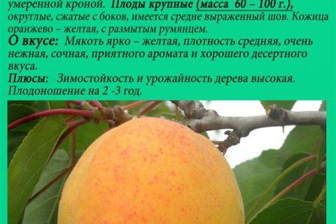 Абрикос Рекламный