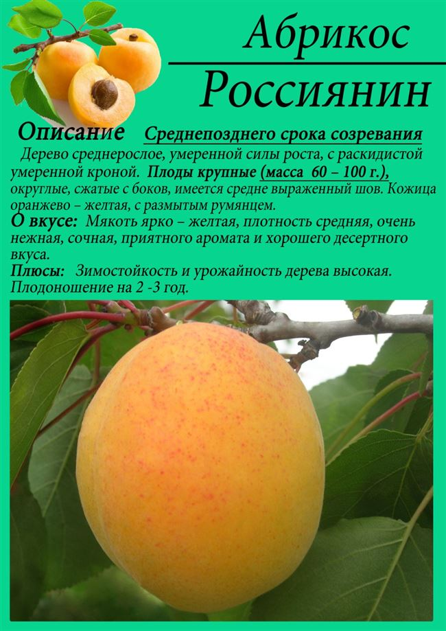 Рекламный - сорт растения Абрикос