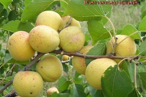 Сорт абрикоса Кичигинский, описание, характеристика и отзывы