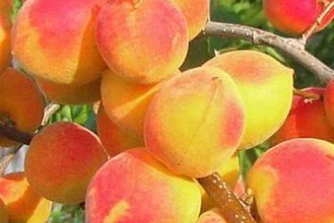 Лучшие сорта зимостойких абрикосов Самоплодные сорта абрикоса Самоплодные сорта абрикос часто выбираются для выращивания на небольших приусадебных участках, где нет возможностей высаживать много деревьев. Они плодоносят каждый год вне зависимости от того имеются ли рядом опылители, так как сами себя опыляют. Ниже будут перечислены лучшие самоплодные сорта абрикоса с описанием и фото для выращивания…
