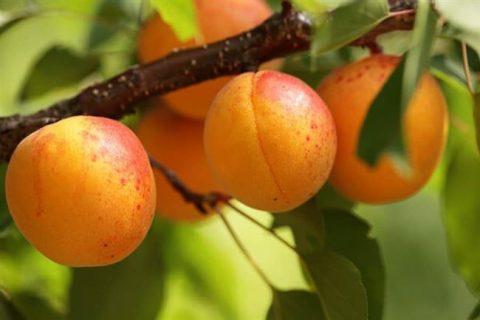 Абрикос сибиряк байкалова: описание и характеристика сорта, правила посадки и сбора урожая, фото