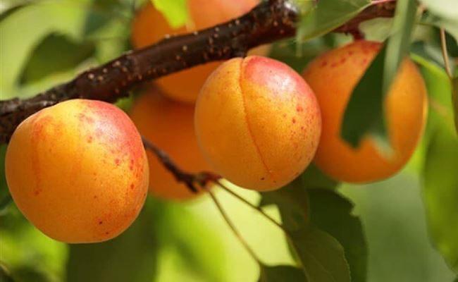Абрикос Сибиряк Байкалова: описание сорта, особенности выращивания, отзывы