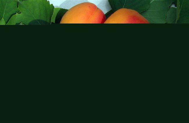Абрикос «Снежинский»: описание сорта и особенности выращивания