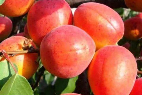 Абрикос Сын краснощекого: описание сорта, нужен ли опылитель, когда начинает цвести, высота дерева, зимостойкость