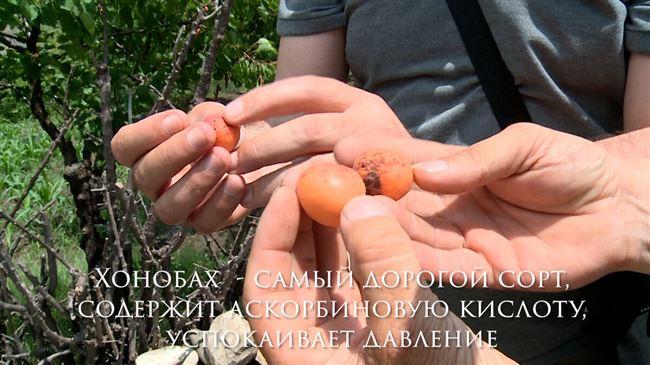 Хонобах - сорт растения Абрикос