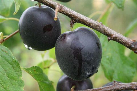 Абрикос Черный бархат: описание сорта, выращивание + фото, отзывы