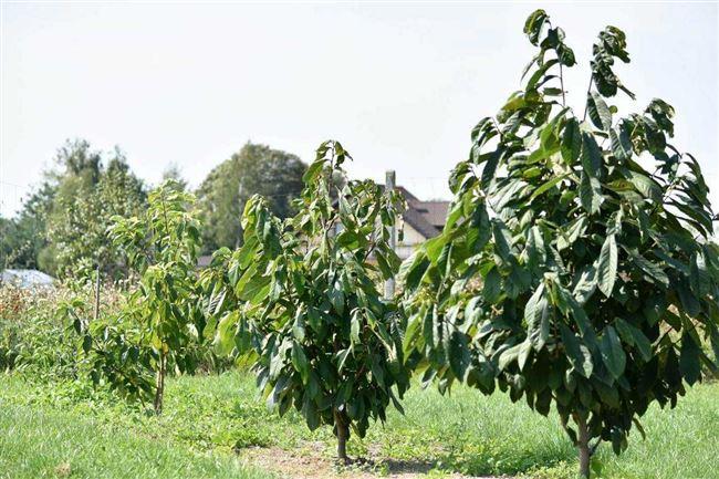 Азимина: выращивание «бананового дерева»