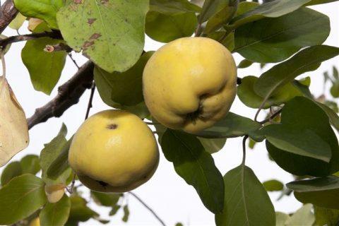 Сорт айвы Крымская Ароматная | Никитский Ботанический Сад