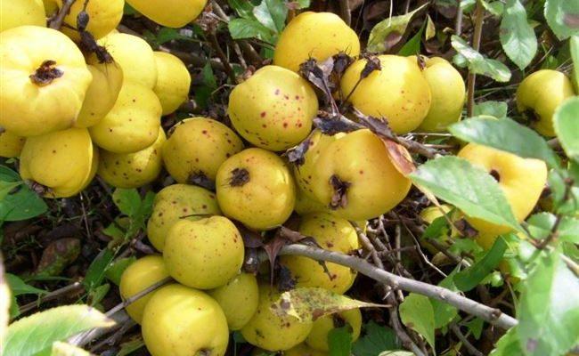 Золото Скифов - сорт растения Айва