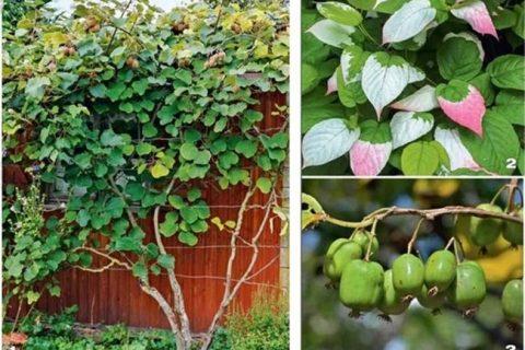 Актинидия: что это за растение, фото, описание сортов, условия выращивания в открытом грунте